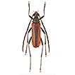 Fauna of Cerambycidae (Insecta: Coleoptera) ...