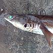 New records of sharks (Elasmobranchii) ...