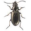 Bembidion ambiguum (Coleoptera: Carabidae) ...
