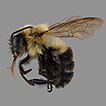 First records of the Common Eastern Bumble ...