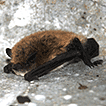 New data on David's myotis, Myotis davidii ...
