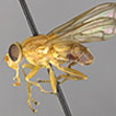 New Syrphidae (Diptera) of North-eastern ...