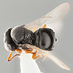 First record of Trissolcus basalis (Hymenoptera: ...