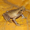 New records of megophryids (Amphibia: ...