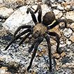 Species conservation profiles of tarantula ...