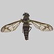 Description of Dichelacera (Dichelacera) ...