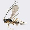 A new parasitoid wasp, Aphaereta vondelparkensis ...