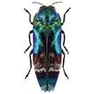 Jewel beetles (Coleoptera, Buprestidae) ...