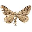 Rhodostrophia crypta, a new species from ...