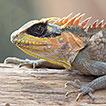 Acanthosaura aurantiacrista (Squamata: ...