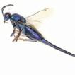 First description of the male of Solenura ...