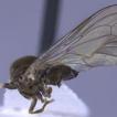 Revision of Eudorylas Aczél, 1940 (Diptera,  ...