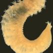 A new species of Leiochrides Augener, ...