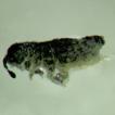 A new species of the genus Neotropiella ...