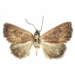 New records of six moth (Lepidoptera: ...