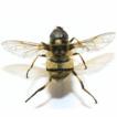 Distribution of wild bee (Hymenoptera: ...