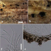 Additions to Italian Pleosporinae, including ...