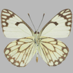The first record of the genus Belenois ...