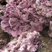 Marine algal flora of Flores and Corvo ...