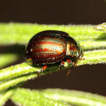First records of the pest leaf beetle ...