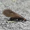 Potamophylax coronavirus sp. n. (Trichoptera: ...
