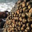 Marine algal flora of São Miguel Island,  ...