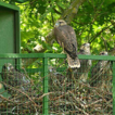 Re-introduction of the Saker Falcon (Falco ...
