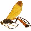 A striking new species of Dolichomitus ...