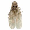 Two new species of the genus Anufrievia ...