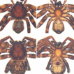 Description of a new species of Thelcticopis ...