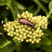 Ground beetle fauna (Coleoptera, Carabidae) ...