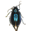 Description of a new species of the Charaea ...