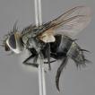 Revison of Metaplagia Coquillett (Diptera: ...