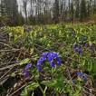 Moss occurrences in Salair-Kuznetsk Region ...
