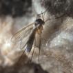 Revision of the Exechia parva group (Diptera: ...