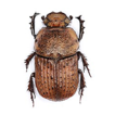 A new species of Cheironitis van Lansberge, ...