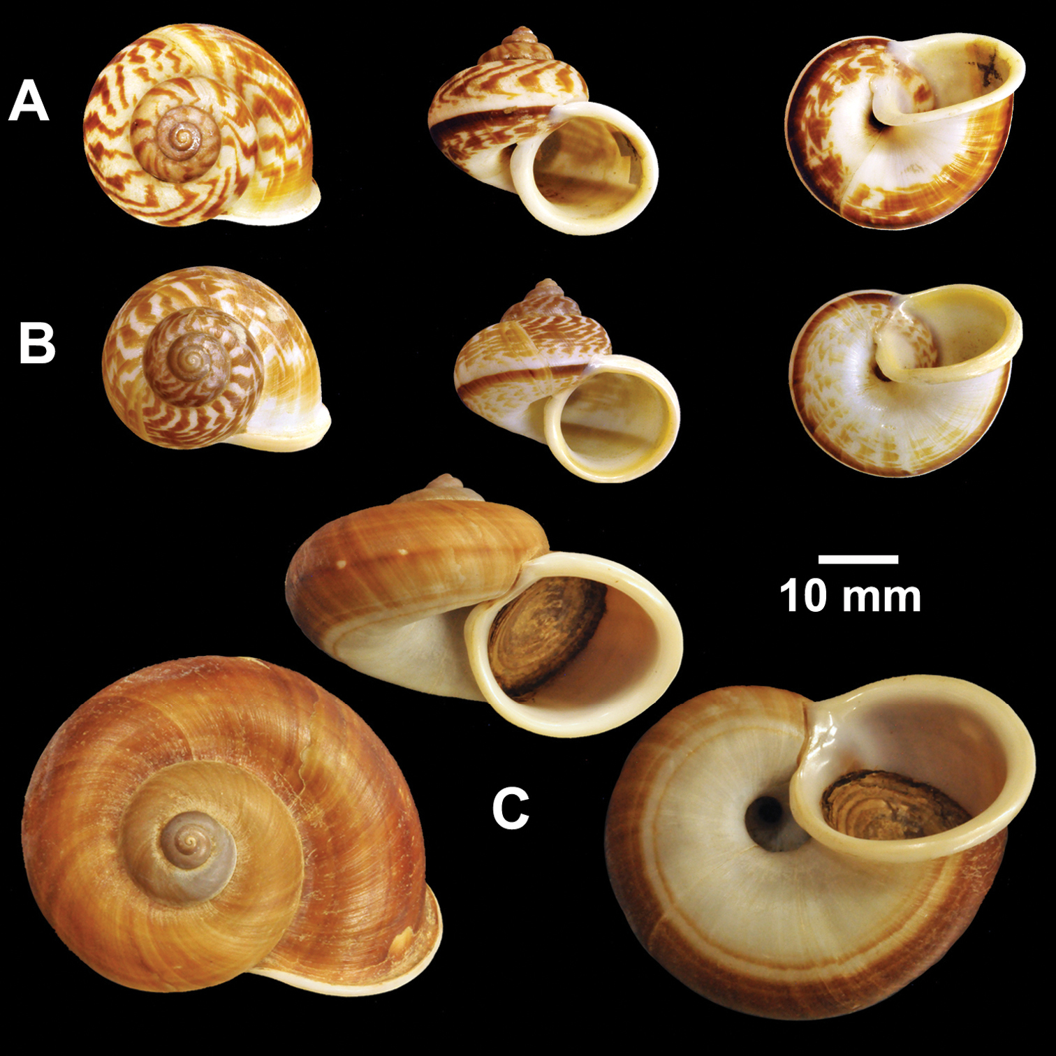 An Annotated Catalogue Of Type Specimens The Land Snail Genus 309 Figure 8