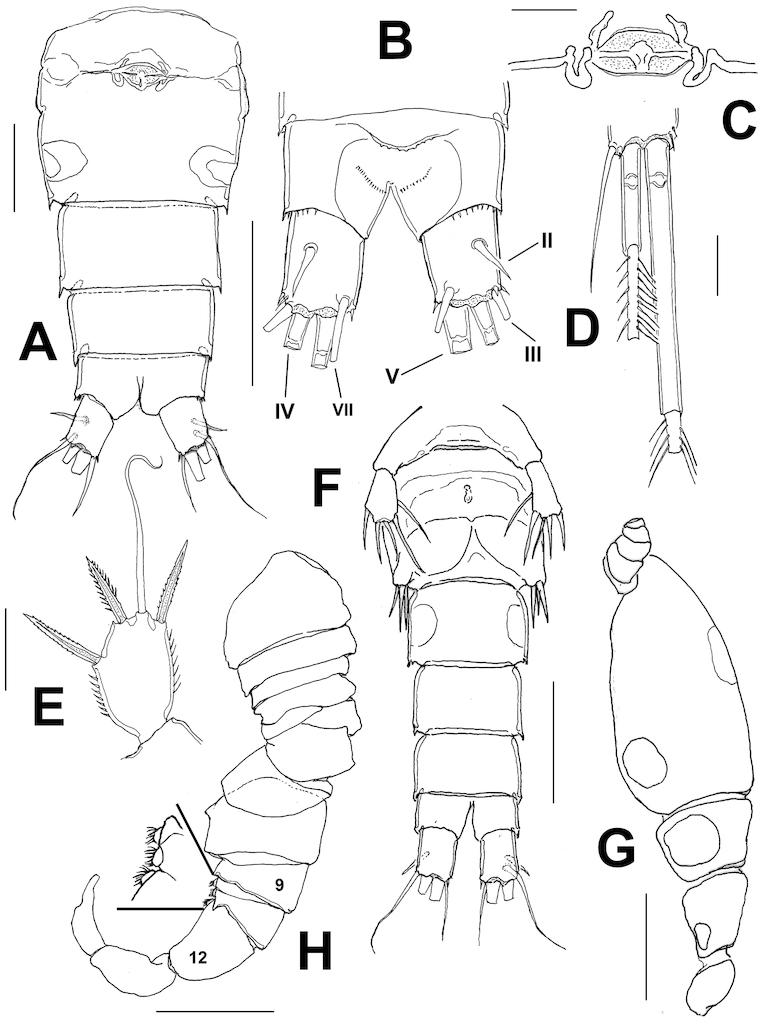 cyclopoida a new species of halicyclops copepoda cyclopoida cyclopidae