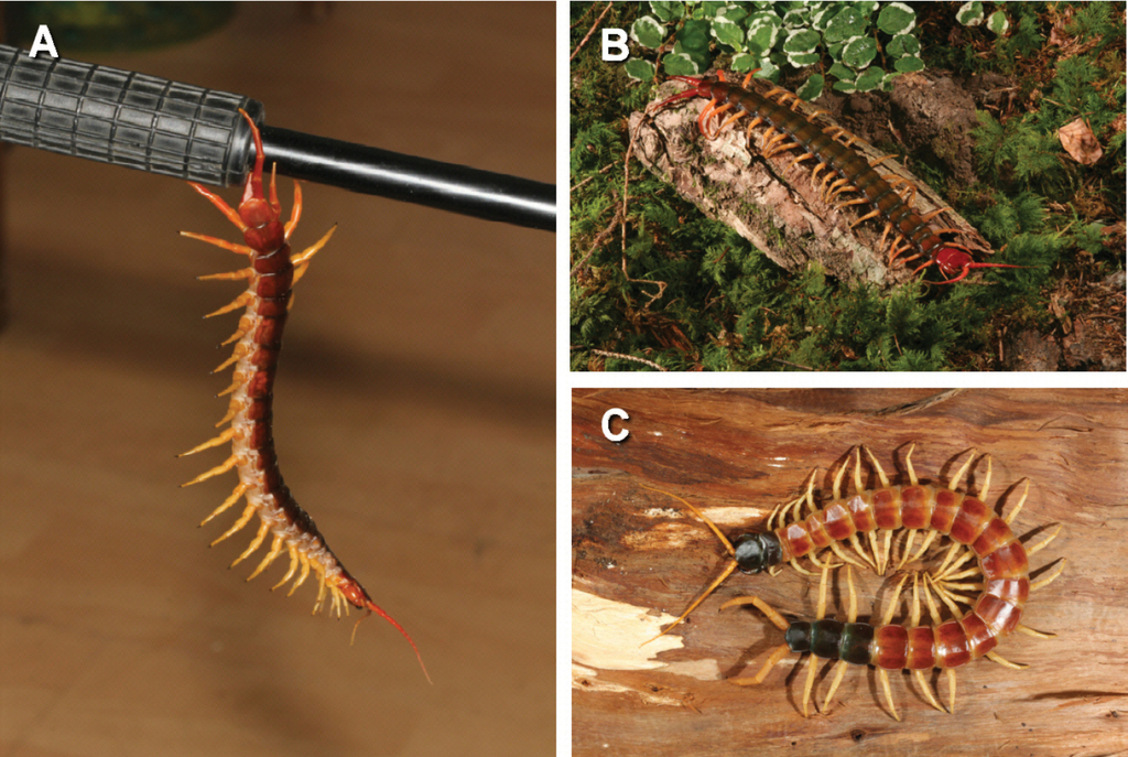 On the function of the ultimate legs of some Scolopendridae