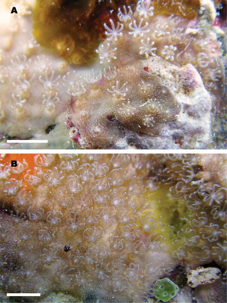 corallimorpharia a new genus and species of octocoral with aragonite calcium