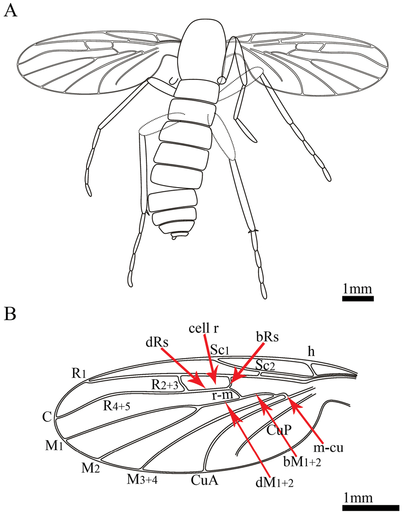 Two New Species Of Paramesosciophilodes Diptera Nematocera Rider Oblong R 222 B Figure 2