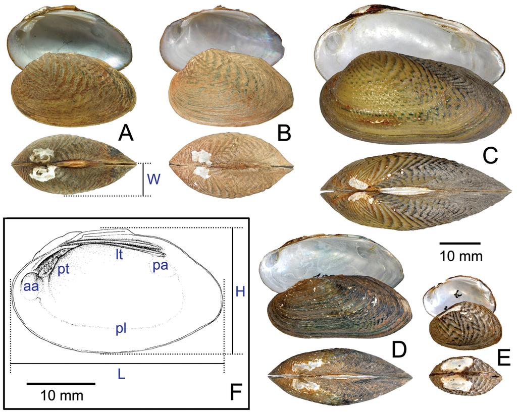 Cytotaxonomy of unionid freshwater mussels (Unionoida, Unionidae ...