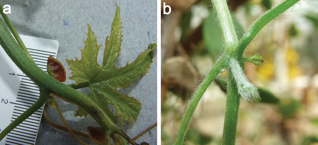 Monograph of Coccinia (Cucurbitaceae)