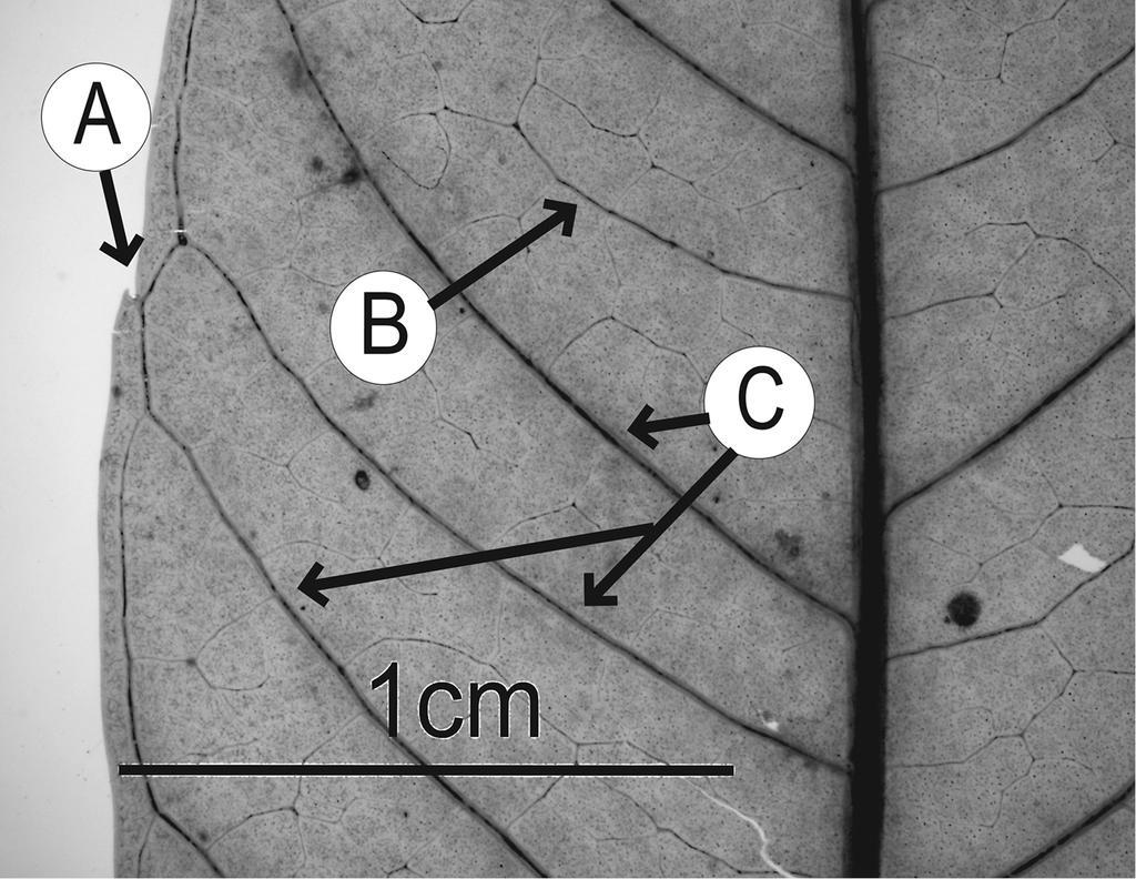 A revision of Spondias L. (Anacardiaceae) in the Neotropics