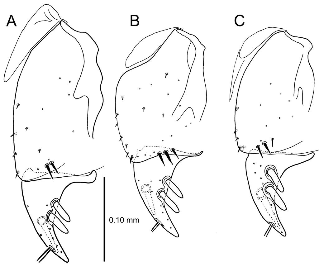 The Mecyclothorax Beetles Coleoptera Carabidae Moriomorphini Of