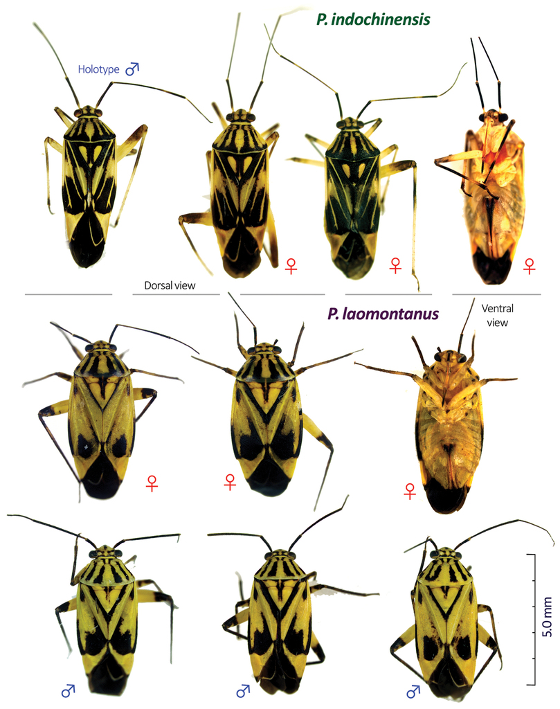 First record of the plant bug genus Paramiridius Miyamo…