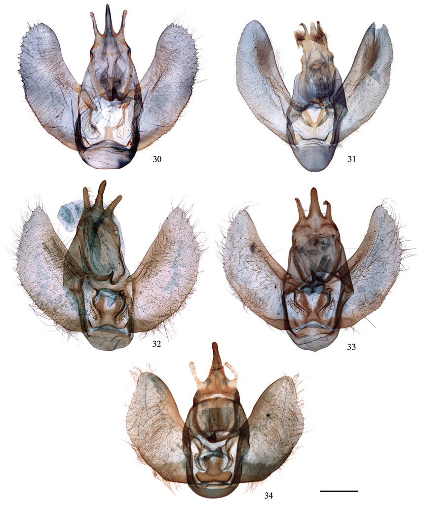 A review of Cyclidiinae from China (Lepidoptera, Drepanidae)