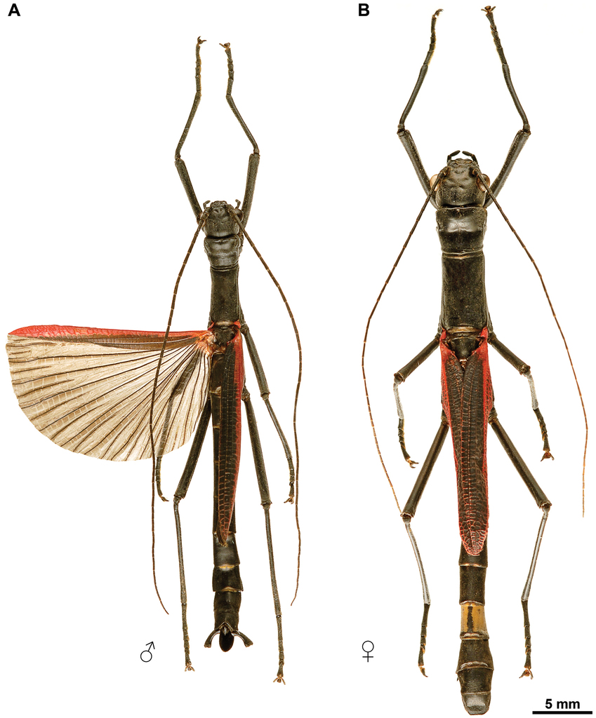 A Black And Red Stick Insect From The Philippines Observations On