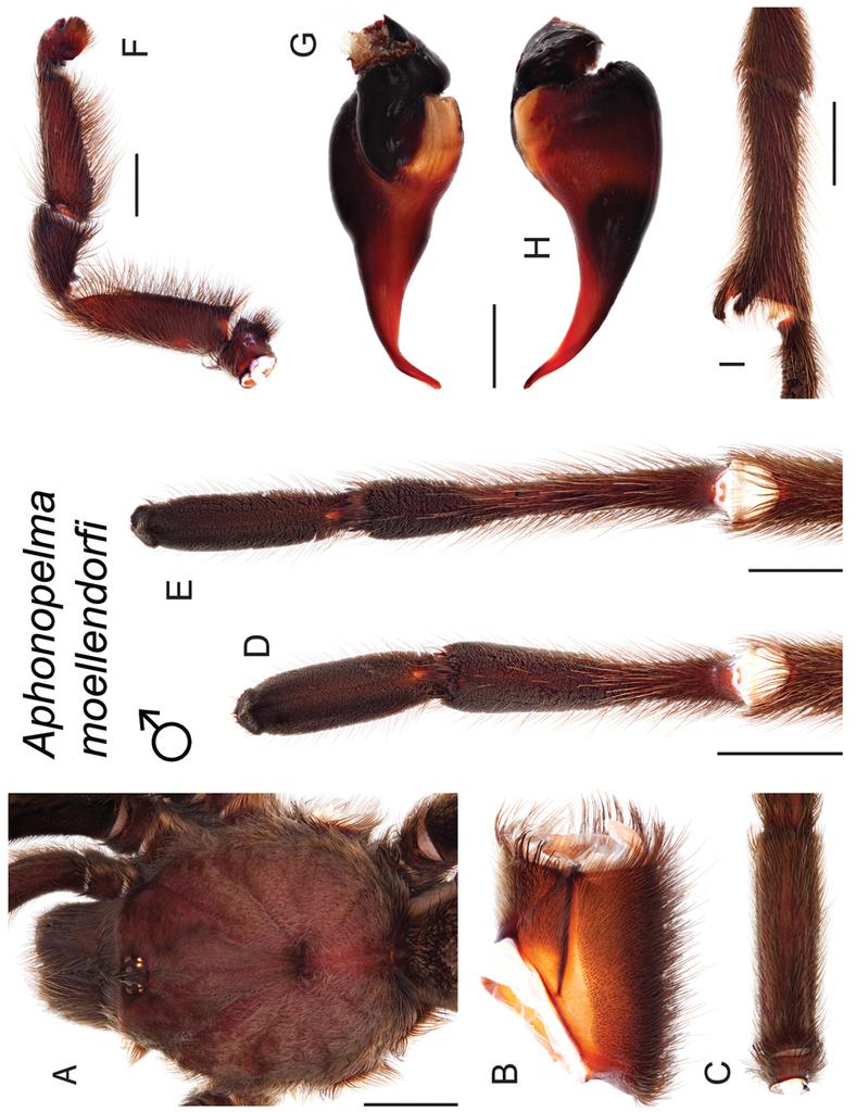 Taxonomic revision of the tarantula genus Aphonopelma Pocock, 1901