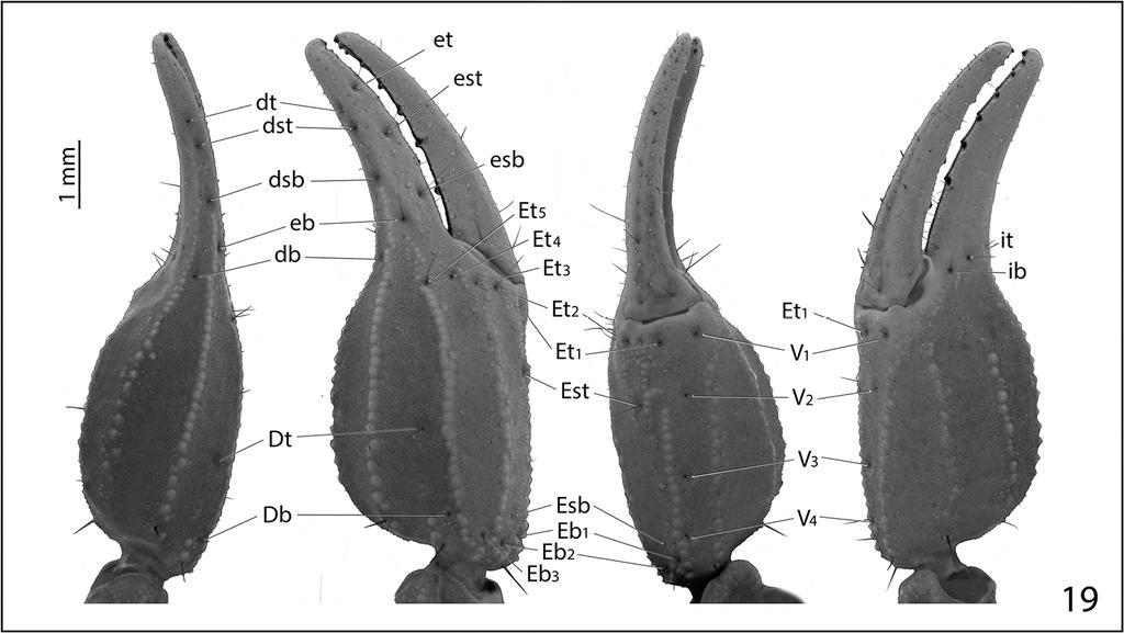 Pseudouroctonus maidu, a new species of scorpion from northern